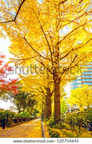 Golden yellow ginkgo trees at Yamashita Park in Yokohama, Japan.