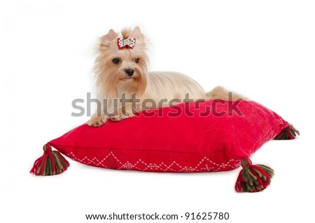 Golden Yorkshire Terrier on red cushion isolated - stock photo