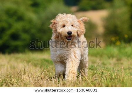 Goldendoodle Dog puppy 3 months designer dog, Poodle , Golden Retriever, breed, - stock photo