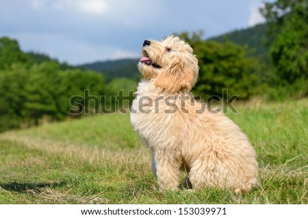 Goldendoodle Dog puppy 3 monthsdesigner dog, Poodle , Golden Retriever, - stock photo