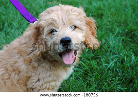 Goldendoodle (poodle -golden retriever cross)puppy smiling - stock photo