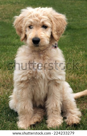 Goldendoodle Puppy - stock photo
