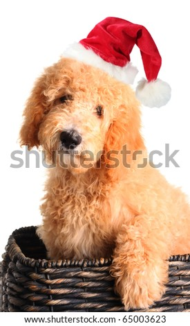 Goldendoodle puppy wearing a Santa hat in a wicker basket. - stock photo