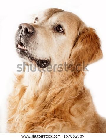 Goldenretriever isolated on white background - stock photo