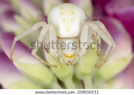 Goldenrod crab spider, Misumena Vatia with small gnat - stock photo