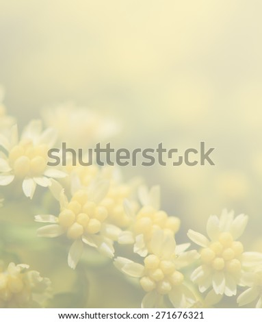 Goldenrod flowers soft style in pastel tone for the background. - stock photo