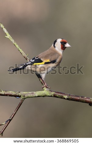 Goldfinch, Carduelis carduelis,  single bird on branch, Warwickshire, January 2016