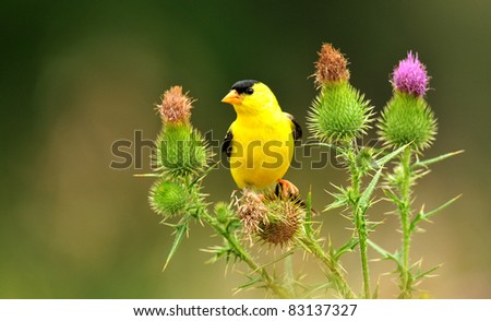 Goldfinch, male, perched among bull thistle flowers - stock photo