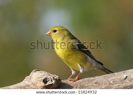 Goldfinch resting on a tree limb. - stock photo