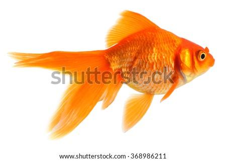 Goldfish  - stock photo