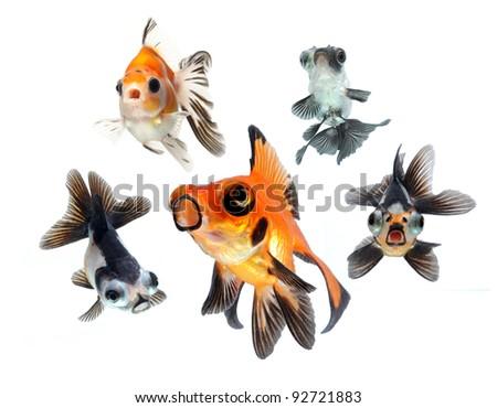 goldfish collection isolated on white background - stock photo