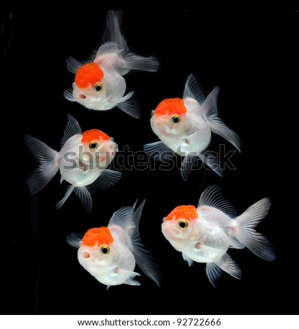 goldfish collection on black background - stock photo