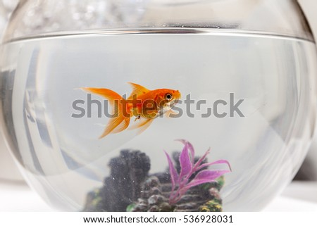 Goldfish in an aquarium, close up