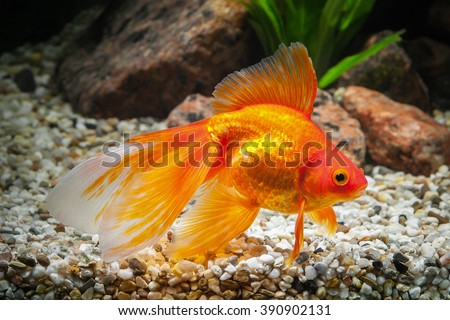 Goldfish in aquarium with green plants, and stones