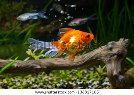 Goldfish in aquarium with green plants, snag and stones - stock photo