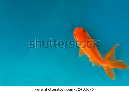goldfish in blue water - stock photo
