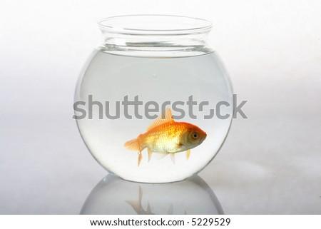 goldfish in bowl - stock photo