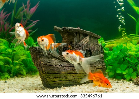 Goldfish in freshwater aquarium with green beautiful planted tropical