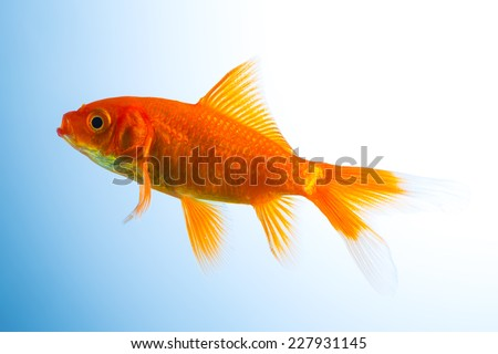 Goldfish in front of a blue background