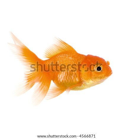 Goldfish in front of a white background - stock photo