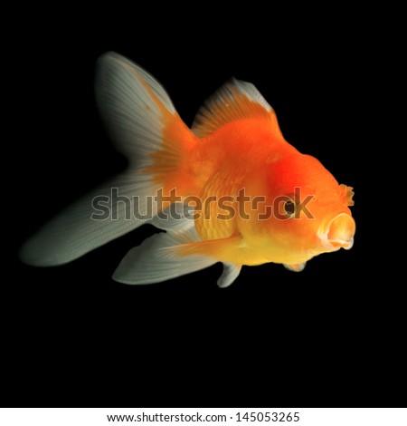 goldfish isolated in black background - stock photo