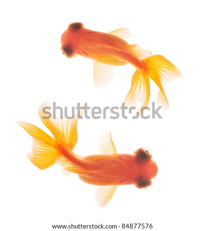goldfish isolated  in fishbowl top view - stock photo