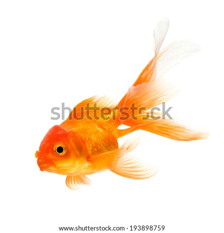 Goldfish isolated on white background - stock photo