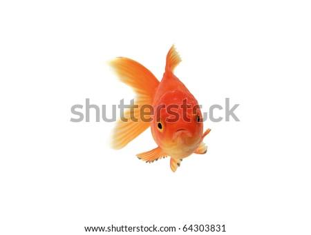 Goldfish isolated on white background - stock photo