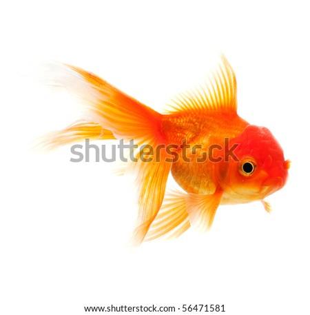 Goldfish isolated over white background - stock photo