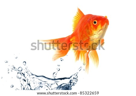goldfish jumping with water splash isolated on white background - stock photo