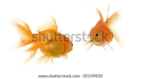 Goldfish looking each other in front of a white background - stock photo