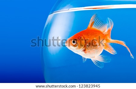 Goldfish on a blue background - stock photo