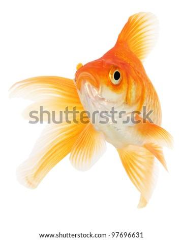 Goldfish on White - stock photo