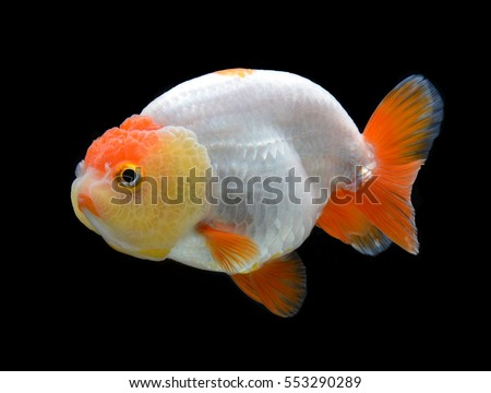 goldfish Ranchu isolated on black background