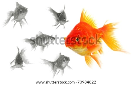 goldfish showing discrimination success individuality leadership or motivation concept - stock photo