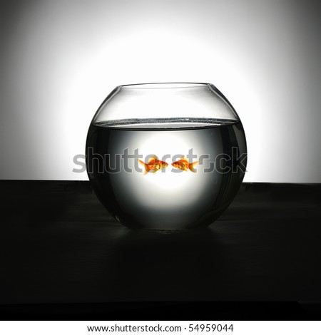 Goldfish swim in an aquarium - stock photo