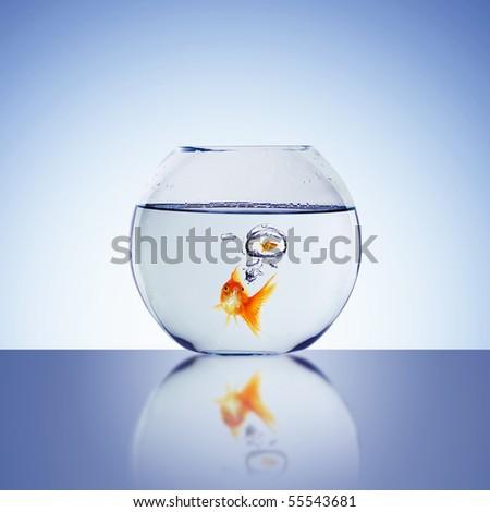 Goldfish swim in an aquarium with water. - stock photo