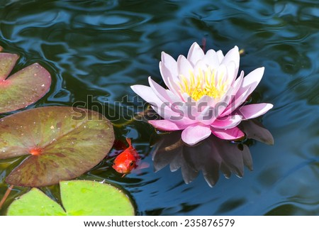 Goldfish swimming under a pink water lily blossom - stock photo