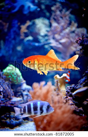 Goldfish   /with copy space/ - stock photo