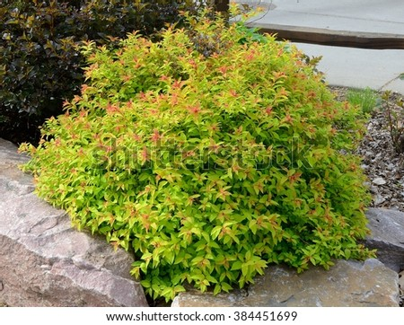 Goldflame Spirea is a Compact, Mounded Deciduous Shrub  - stock photo