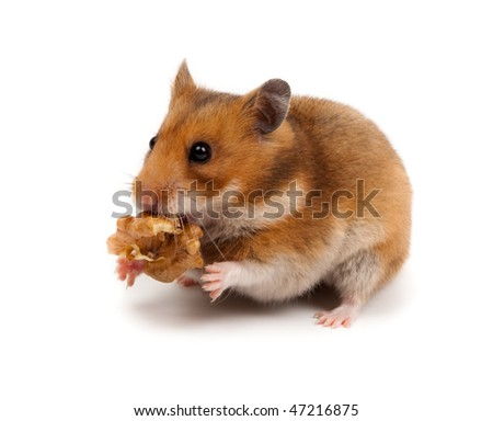 Goldhamster (Mesocricetus auratus) in studio against a white background.