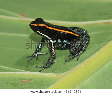 golfo dulce poison dart frog on green leaf, this rare toxic amphibian is endemic to the Carate region of Golfo Dulce, Costa Rica near the Panama border. - stock photo