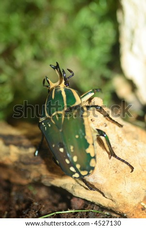 Goliath beetle close-up shot - stock photo