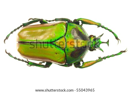 Goliath beetle on white background - stock photo