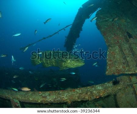 Goliath Grouper & Wreck - stock photo
