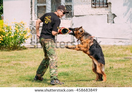 Gomel, Belarus - July 23, 2016: German shepherd dog training in Gomel Regional sports club and decorative dog-breeding. Biting dog. Alsatian Wolf Dog. Deutscher, dog