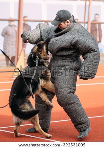 Gomel, Belarus - March 12, 2016: German shepherd dog training. Biting dog. Alsatian Wolf Dog. Deutscher, dog - stock photo