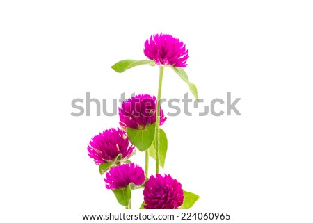 Gomphrena globosa on White Background