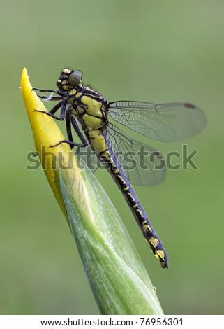 Gomphus Vulgatissimus on a beautiful Iris Pseudacorus - stock photo