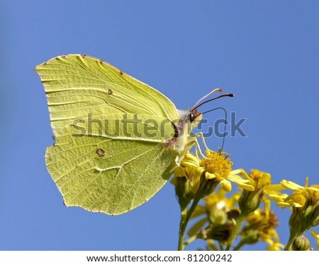Gonepteryx rhamni butterfly (Brimstone) against a magnificent blue sky